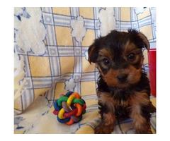 Beautiful Yorkie Puppies 11-12 week old!!