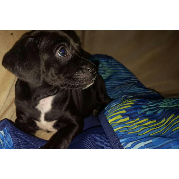 Cockapoo Puppy For Adoption In Baltimore Maryland Puppies For Sale Near Me