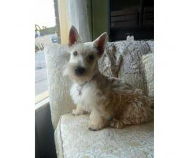 AKC registered Scottish Terrier male puppies for sale