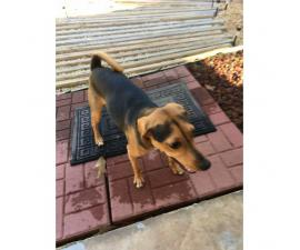 12 months old Beagle mix puppy for sale