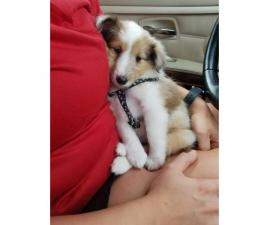 9 weeks old Sheltie puppy for sale