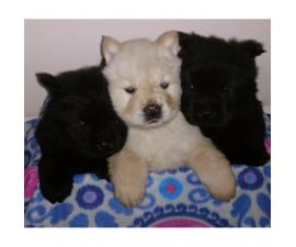 8 weeks old Chow chow puppies for sale - 2 males and 1 female