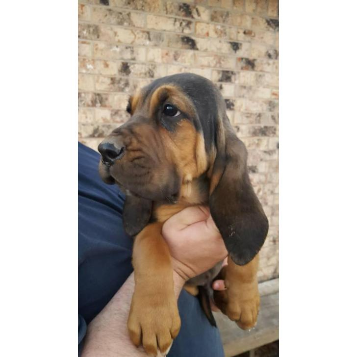 3 male bloodhound puppies left in Wyoming USA - Puppies for sale Wyoming USA