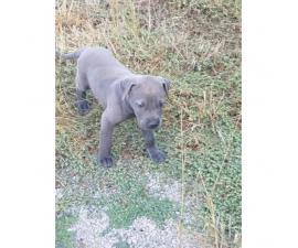 Beautiful Males and females Blue Great Dane puppies for Sale
