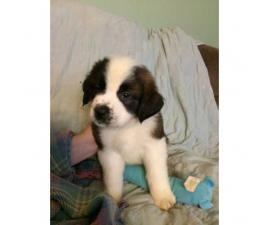 Full blooded Saint Bernard puppies for sale