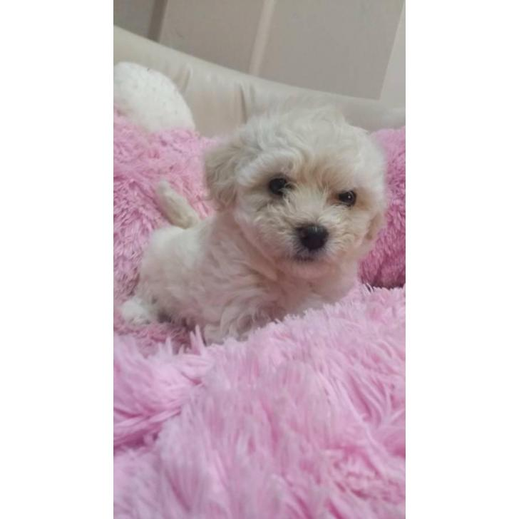 2 boys and 4 girls maltipoo puppies in Sacramento