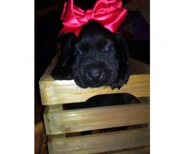 Beautiful purebred Lab Pups with papers