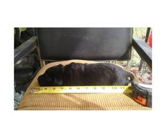 Black Labrador Retriever Puppies - Akc registered