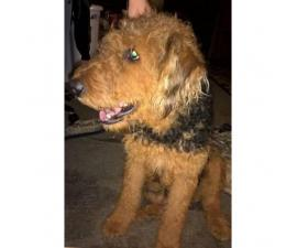 Airedale Terrier Puppies - 5 males and 1 female