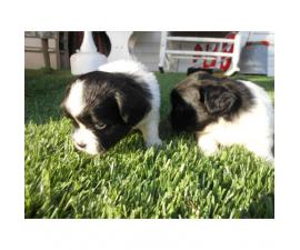 Beautiful King Charles Spaniel Puppies for Sale