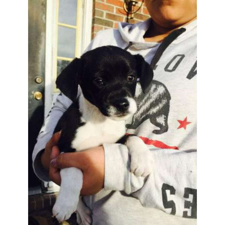 Beagle Chihuahua Mix Cheagle Puppies For Sale In Raleigh North