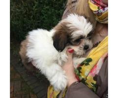 10 weeks old female Shih tzu puppy sale