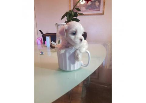 Tea cup maltese puppy for sale