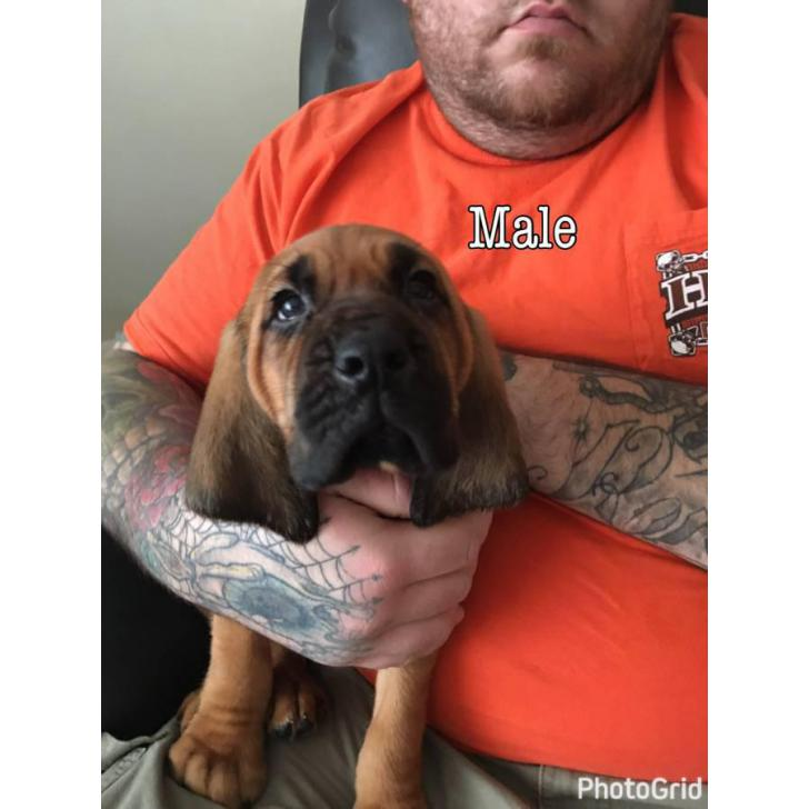 Bloodhound Puppies For Sale Akc Reg In Indianapolis Indiana Puppies For Sale Near Me