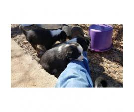6 males and 1 female registered Border collie puppies