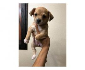 Female Chiweenie pups available