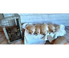 Mini Family bred english Golden Retriever puppy