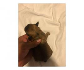 4 Shorkie puppies for adoption