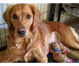 Three girls, three boys Golden Retriever puppies up for adoption