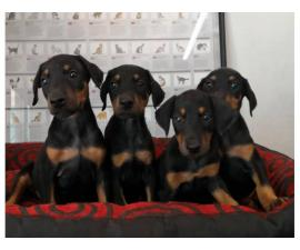 Six pretty doberman puppies available