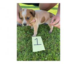 4 Australian Cattle dog puppies for sale