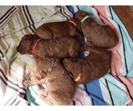 Beautiful 8 weeks old red standard poodle puppies for sale
