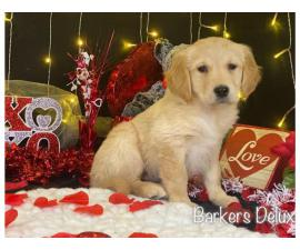 3 Golden Retriever puppies for sale