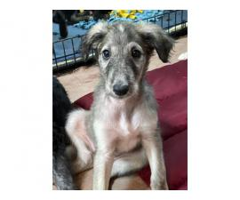 3 female Borzoi puppies for sale