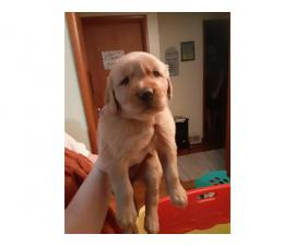 4 females and 1 male golden retriever puppies