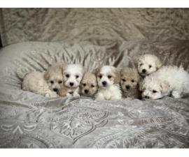 stunning litter of 1st class maltipoo puppies available for sale