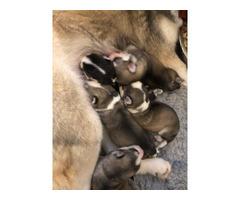 Gorgeous Litter Of Siberian Husky Pups