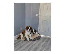 Two St. Bernard puppies available for sale
