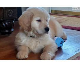 Sweet 11 week old AKC Golden RetrieverPuppies