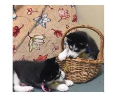 2 Husky puppies 11 week old