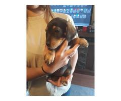 4 girlsand 1 boy beagle puppies left