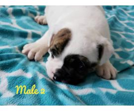 NKC registered English Bulldog puppies for sale