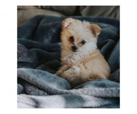 AKC registered pomapoo puppy for sale