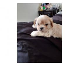 Lovely male Apricot Shih Tzu teddy bear puppy