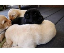 11 gorgeous healthy AKC lab puppies for adoption