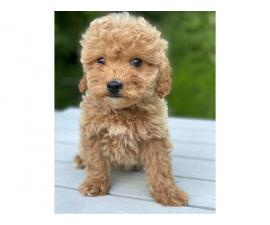 sweet home trained cavapoo pups availble