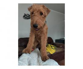 1 year old Airedale Terrier to be rehomed