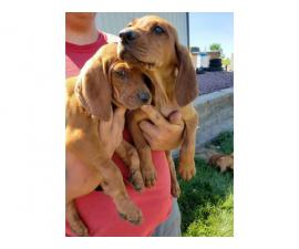 Redbone Coonhound pups