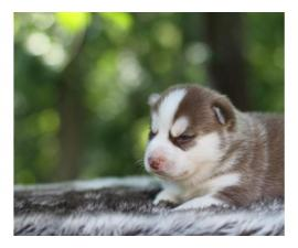 cute pomsky pups for rehome