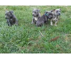 ABKC American Bully Puppies
