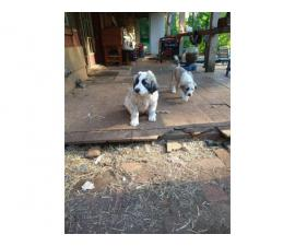 2 males and 2 females Great Pyrenees puppies