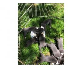 9 pit bull blue nose puppies available