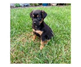 Cheagle boy puppy looking for a new home