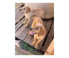 Full blooded male yellow Lab Puppies for sale