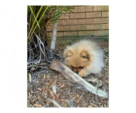 male pomeranian puppy for rehoming