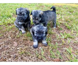Male Mini Schnauzer puppies for sale